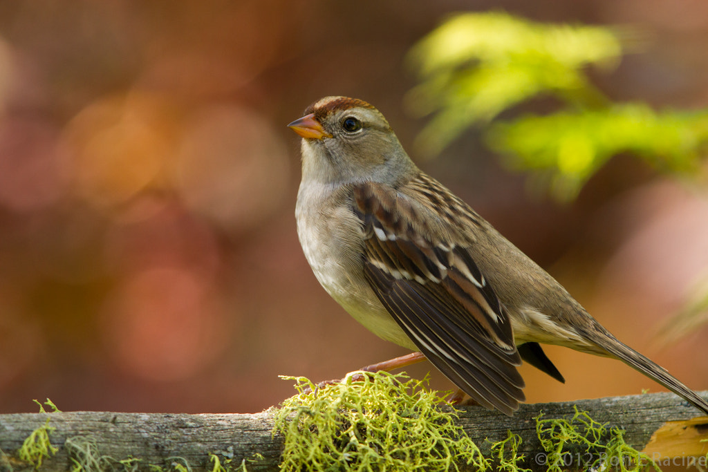 Photograph White-Crowned Sparrow (1st Year) by Ron E Racine on 500px