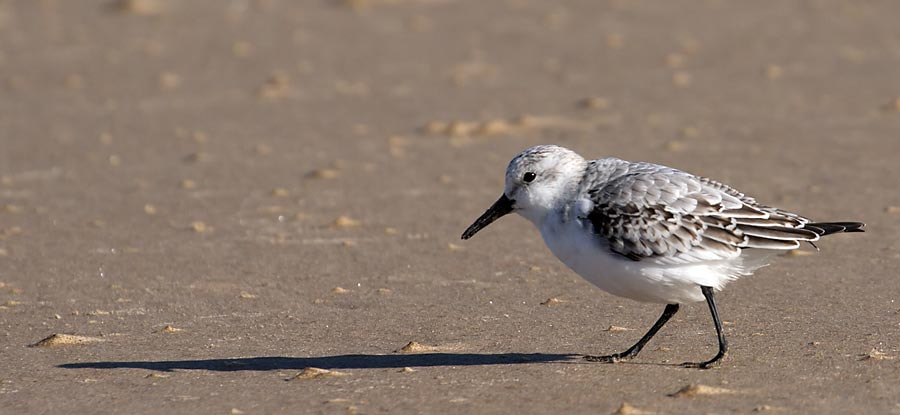 Photograph Sanderling by David Barnes on 500px