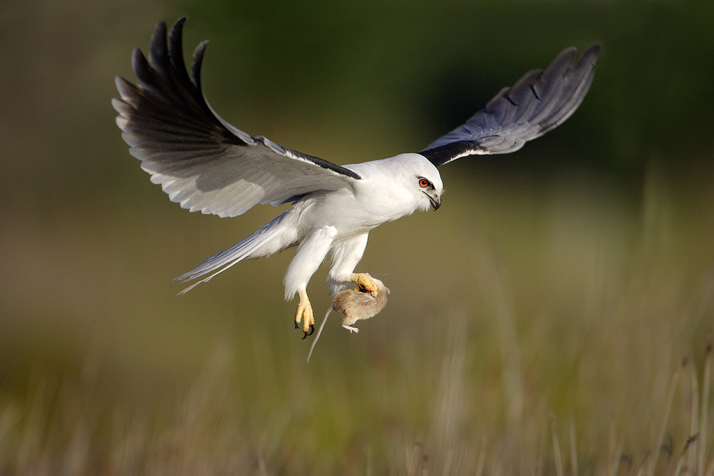 Photograph Black-shouldered Kite with prey by Ofer Levy on 500px