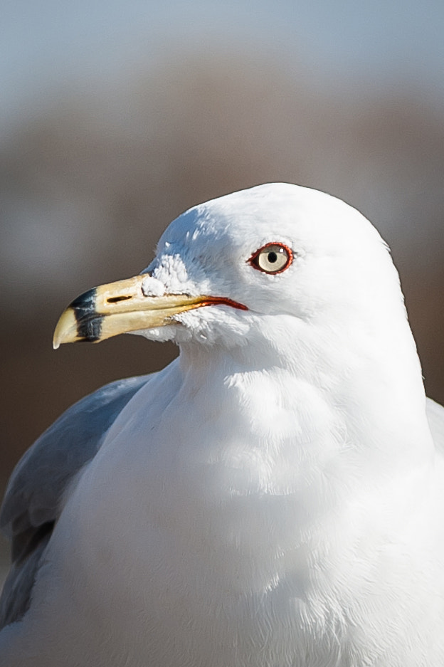 Photograph Portrait of a Seagull by Justin Lo on 500px