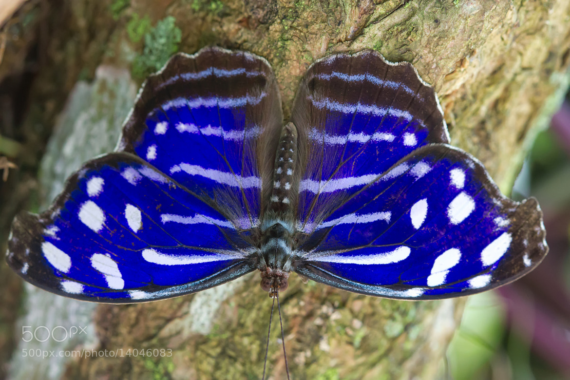 Photograph Tropical Blue Wave Butterfly by Bob Decker on 500px