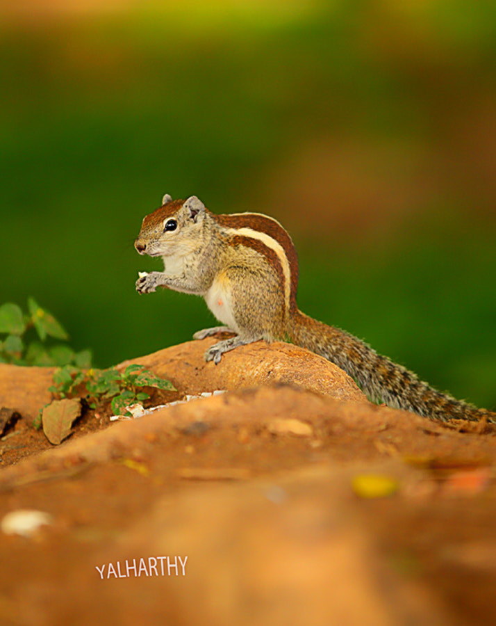Photograph Squirrel by Yousuf Al Harthy on 500px