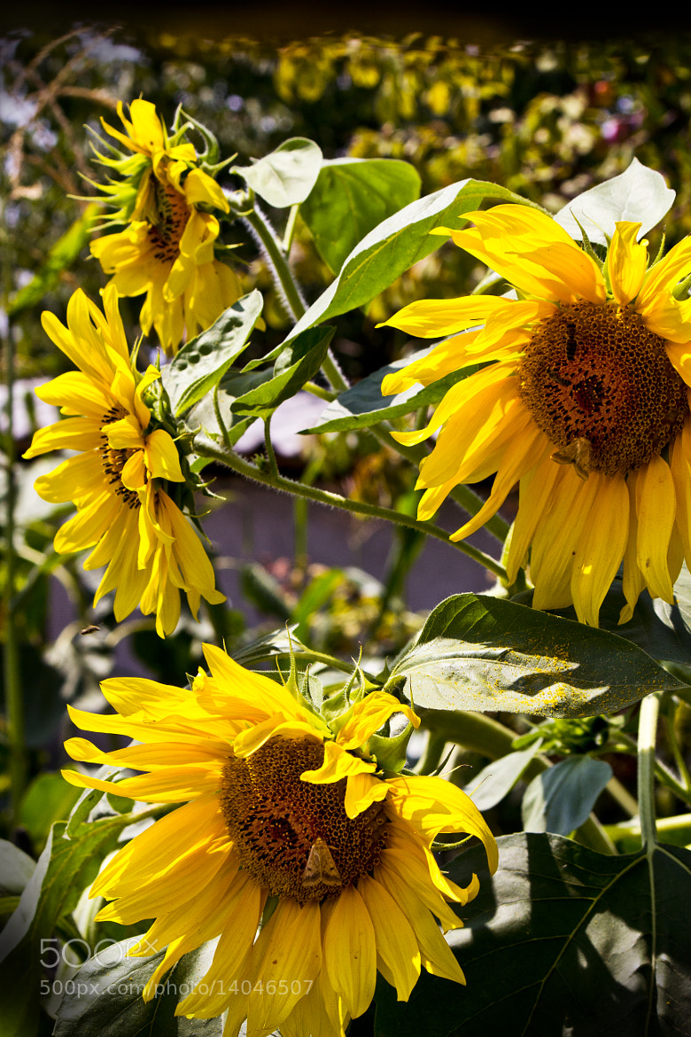 Photograph Sunflower effect by Mohanad Lateef on 500px