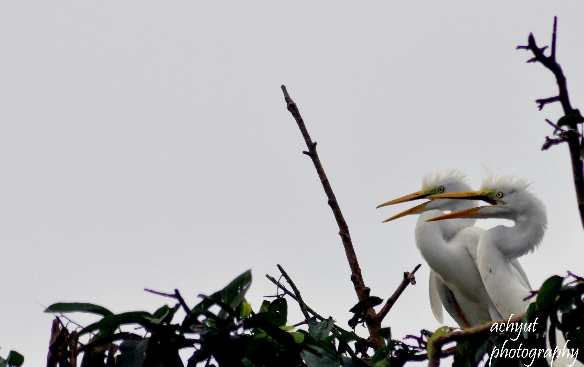 Photograph Baby Egrets Waiting For Food by Achyut Patro on 500px