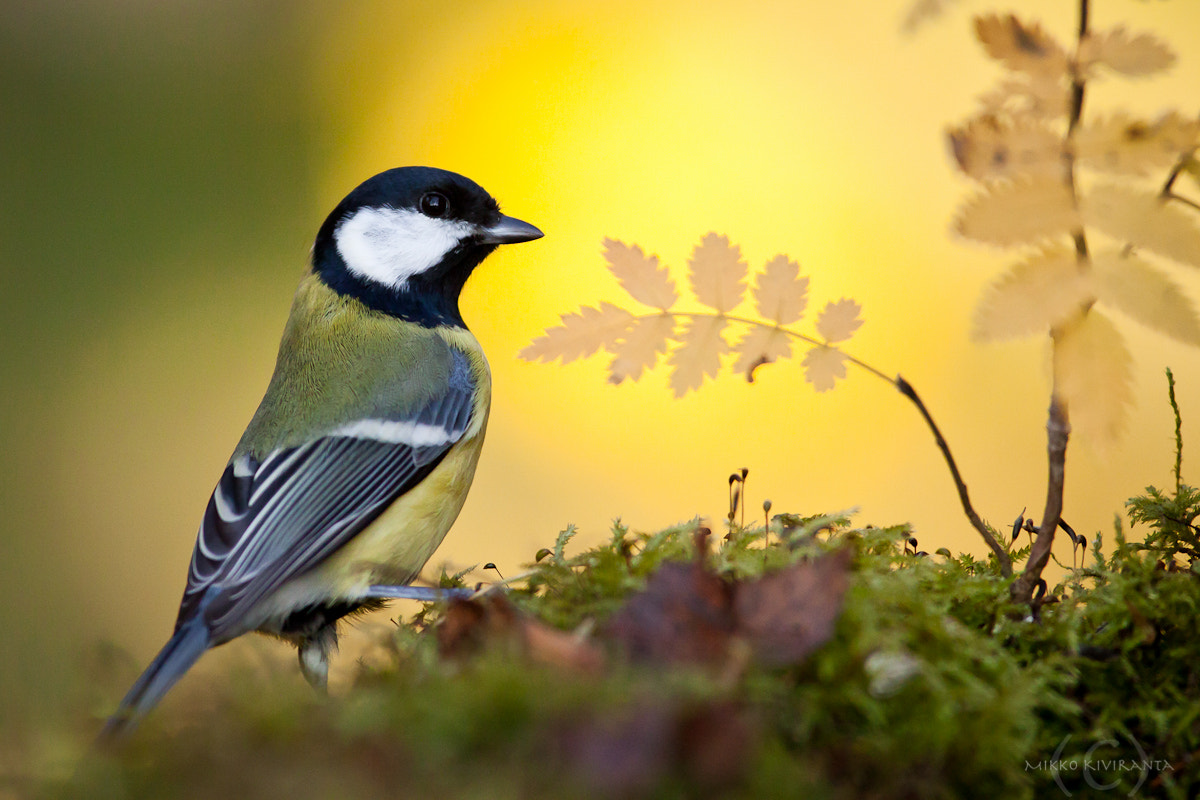 Photograph Great Tit by Mikko Kiviranta on 500px