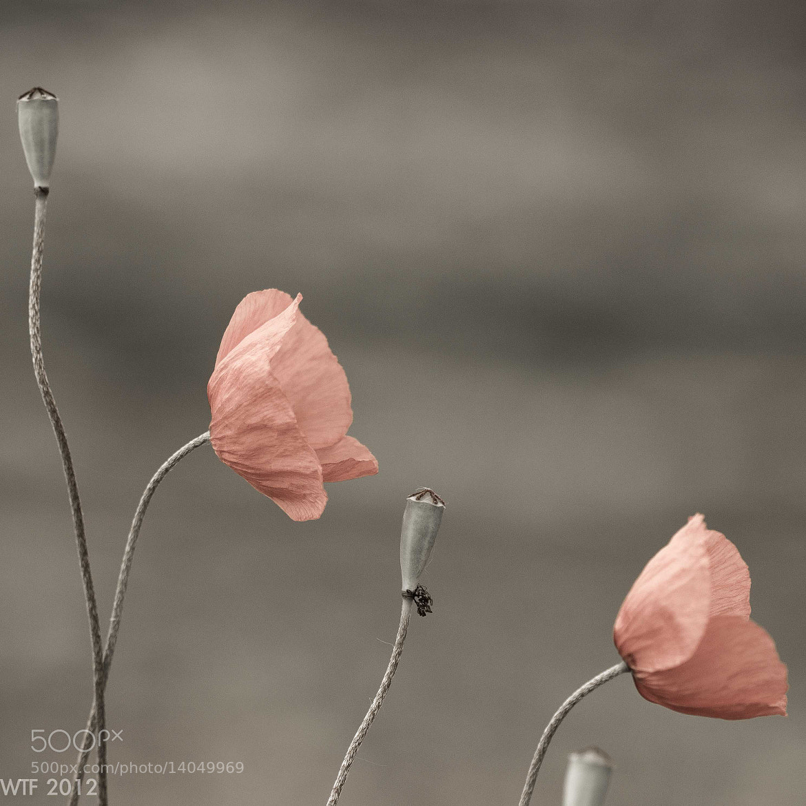 Photograph Coquelicots by Frank Annatar on 500px