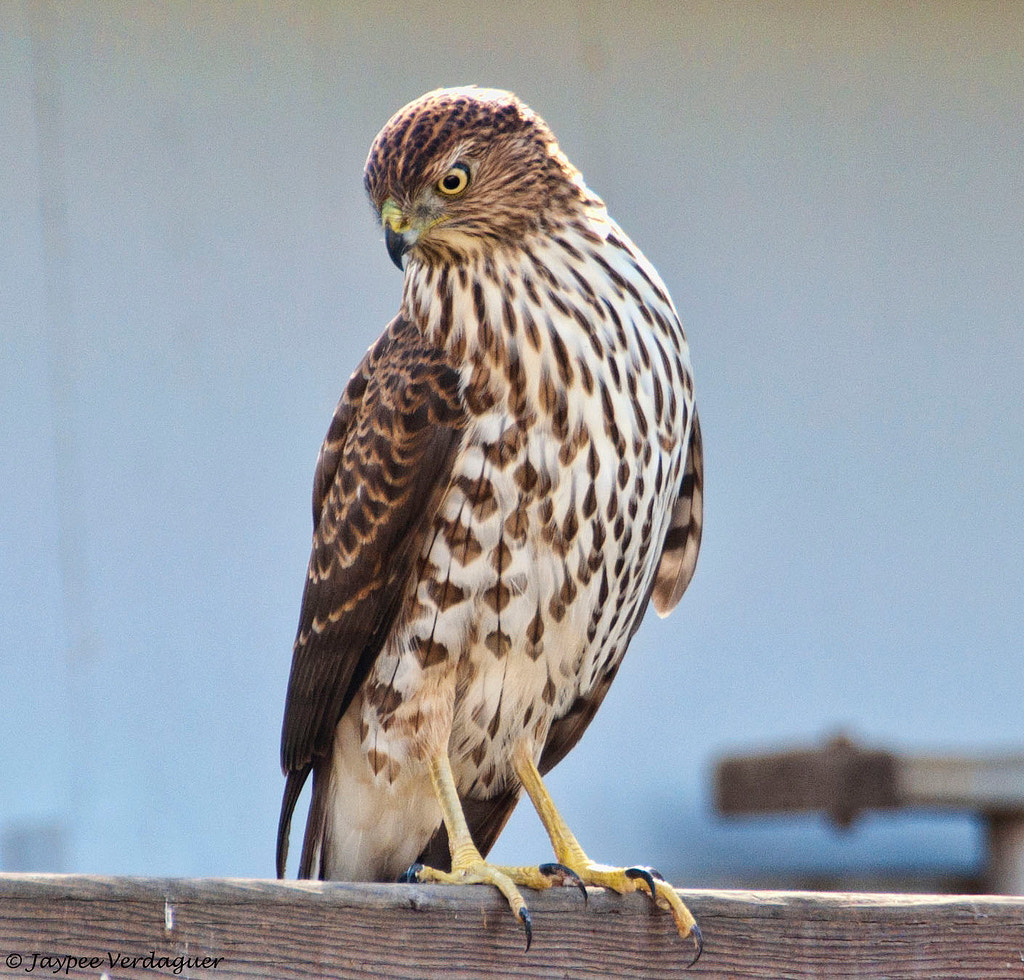 Photograph Red Shouldered Hawk by Jaypee Verdaguer on 500px