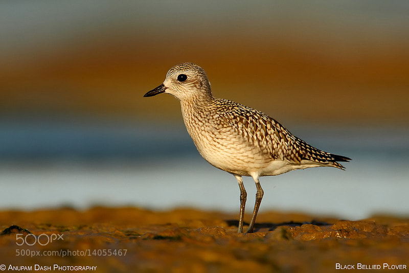 Photograph Black Bellied Plover!! by Anupam Dash on 500px
