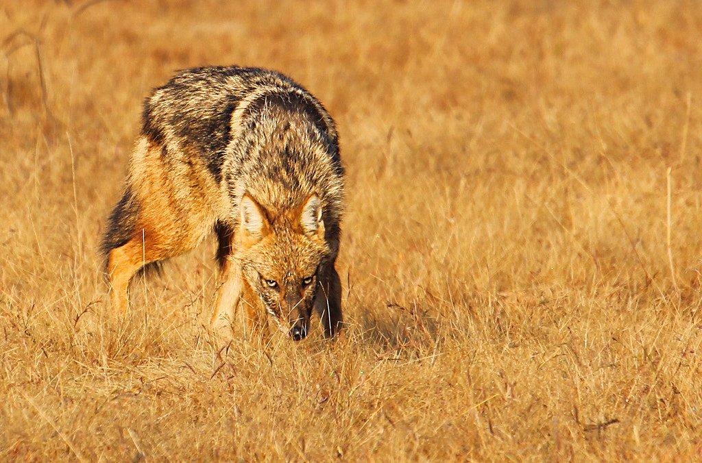 Photograph Indian Jackal in stalking mode by Akshay Charegaonkar on 500px