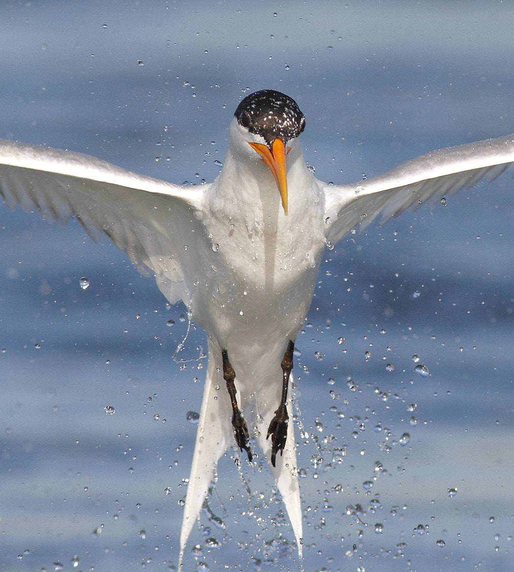 Photograph Rise of the tern! by Salah Baazizi on 500px