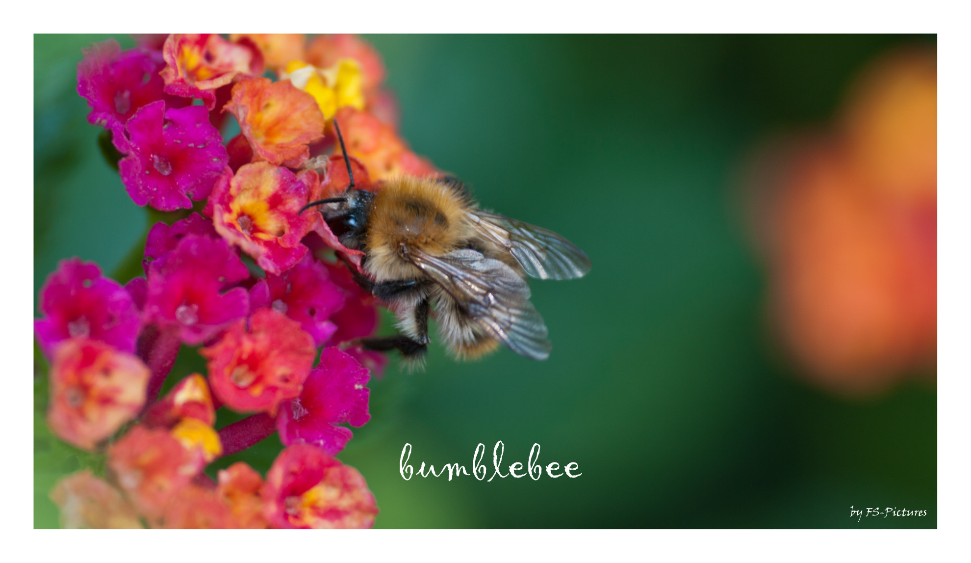 Photograph bumblebee by Frank Schäfer on 500px