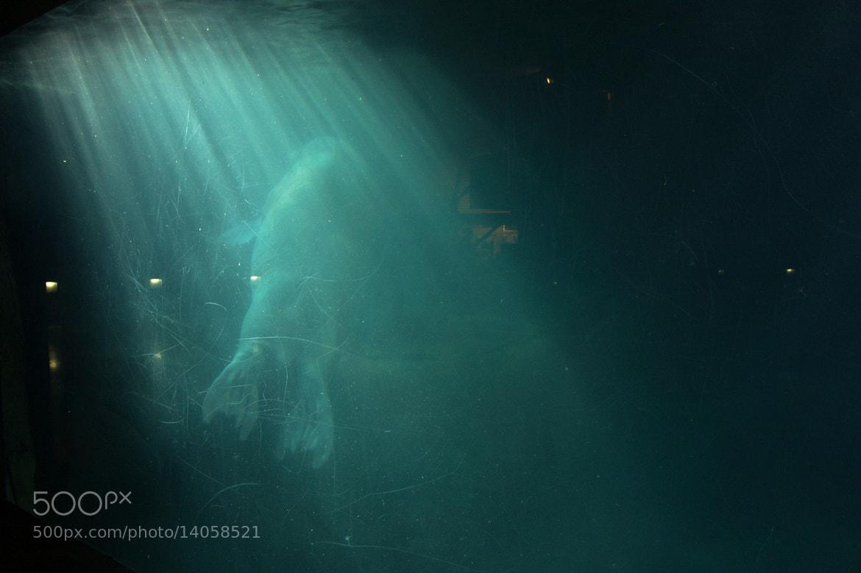 Photograph Walrus in the light by mr kaszkiet on 500px