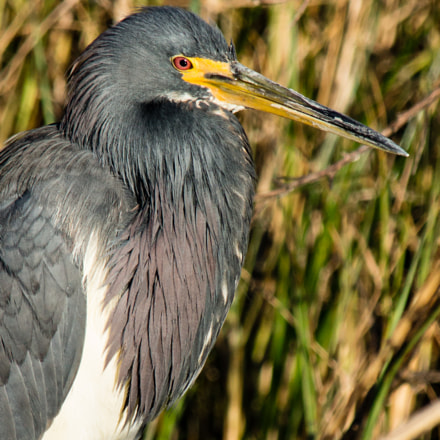 Tri-Colored Heron In The, Sony SLT-A77V, Tamron SP AF 200-500mm F5.0-6.3 Di LD IF