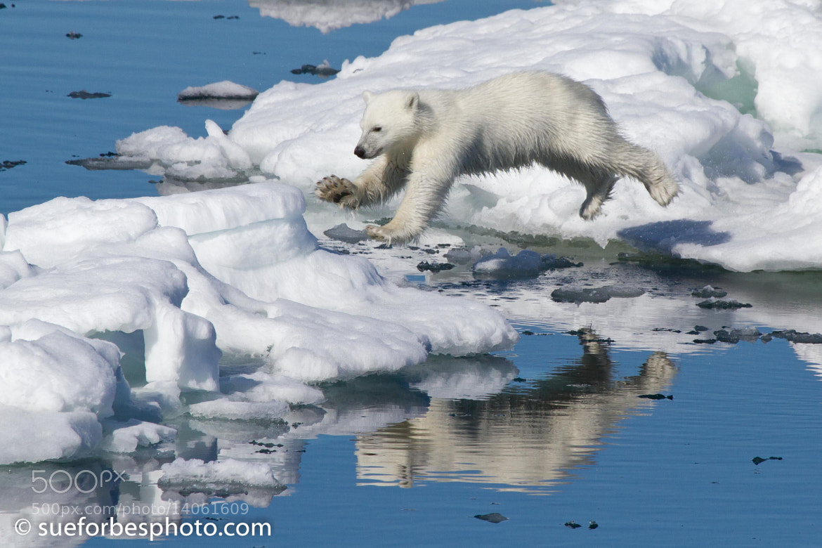 Photograph Leaping Polar Bear cub by Sue Forbes on 500px