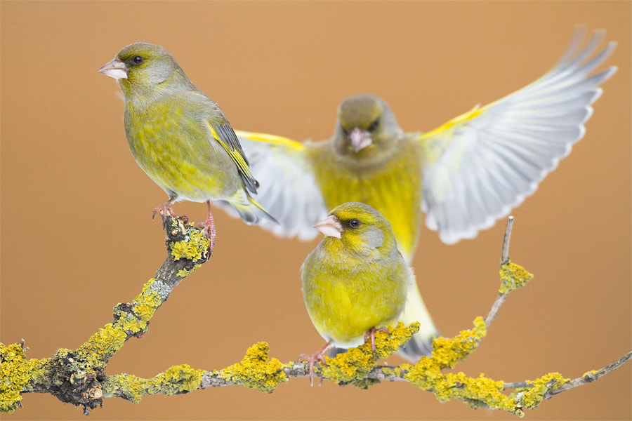 Photograph Three greenfinches by Marcin Perkowski on 500px