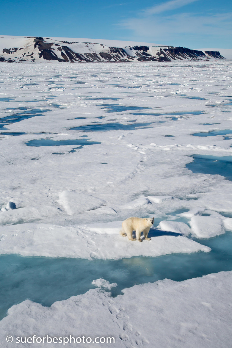 Photograph Polar Bear on the pack ice by Sue Forbes on 500px