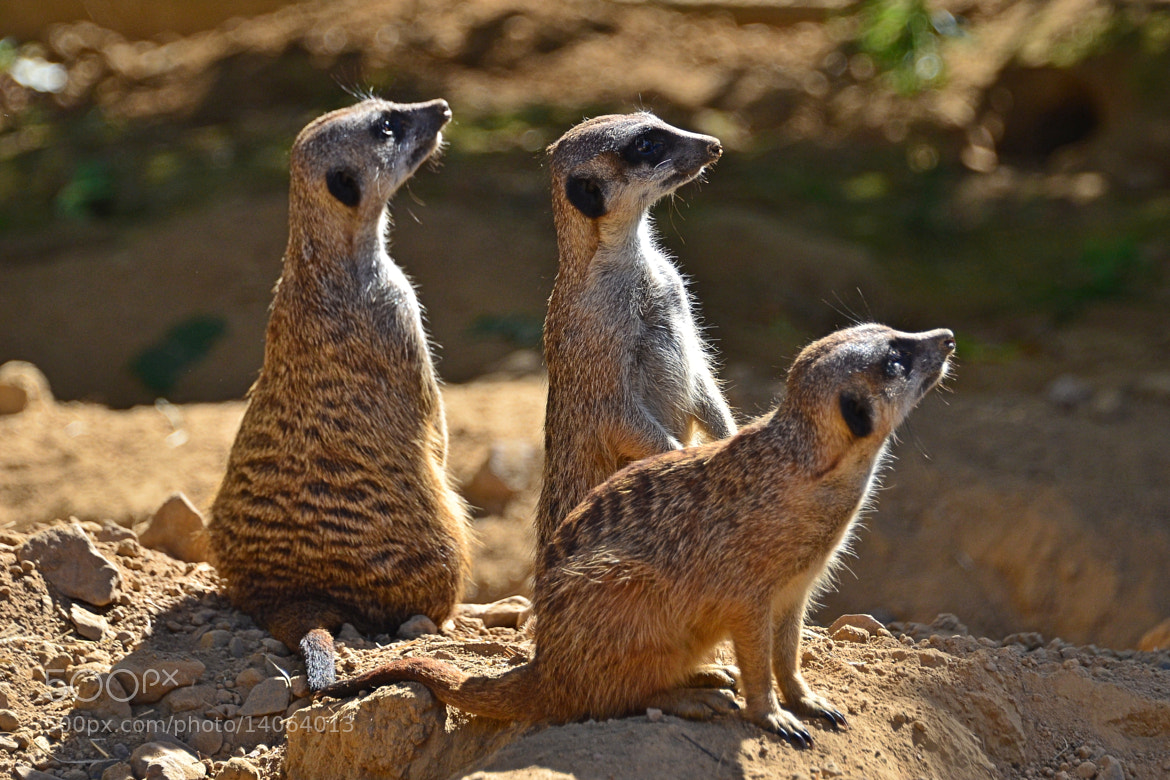 Photograph Meerkats by Peter G. on 500px