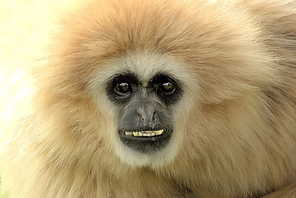 Photograph Funky Gibbon by Derek Donnelly on 500px