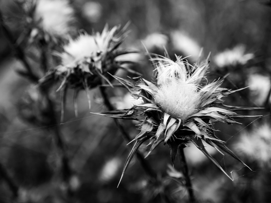 Burdock in Black and White by Travis Chau on 500px.com