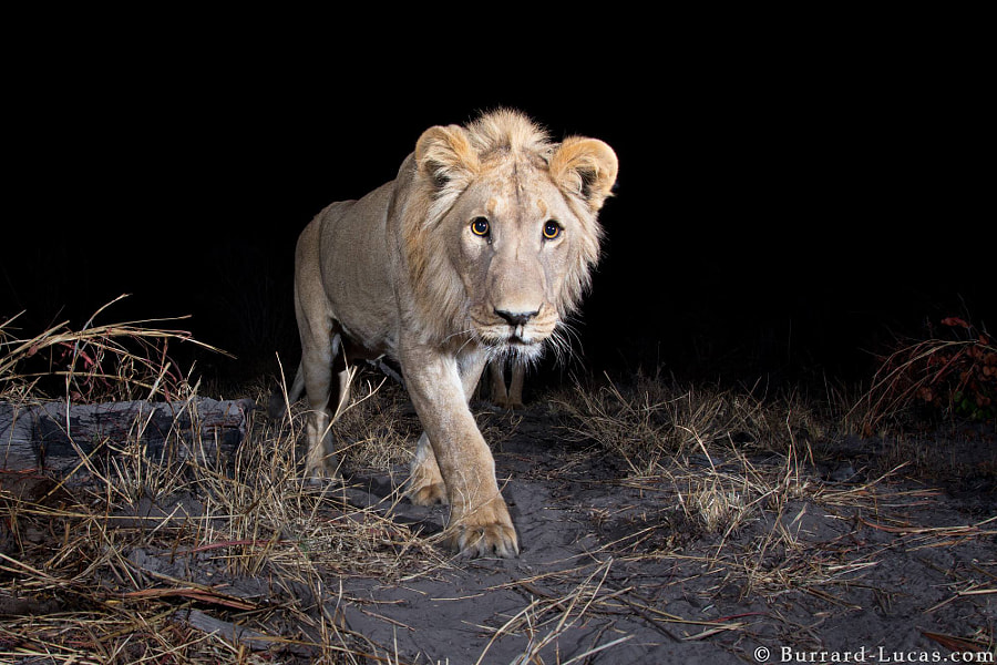 Elusive Lion by Will Burrard-Lucas on 500px.com
