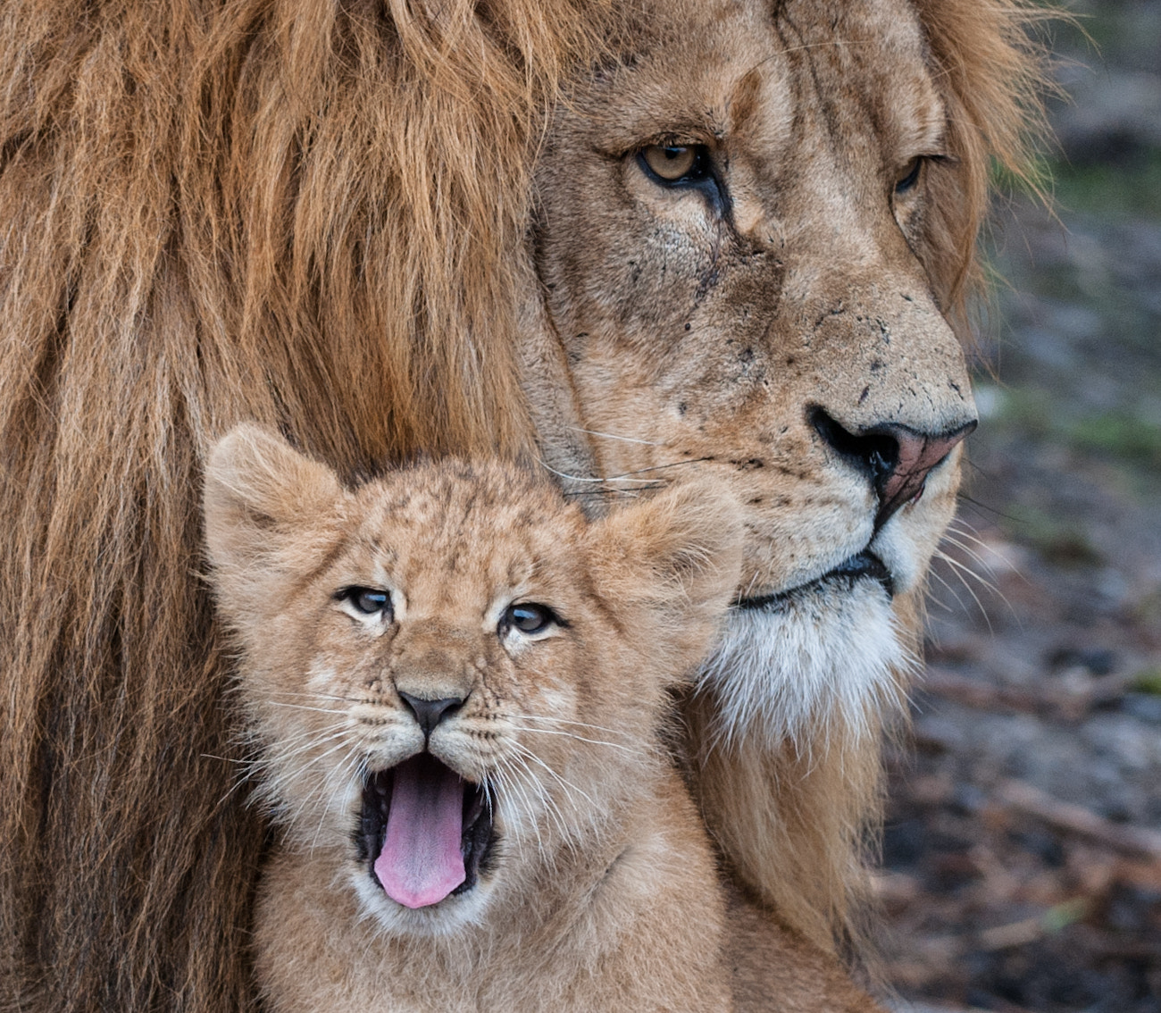 Photograph The little Lion by Peter Hausner Hansen on 500px
