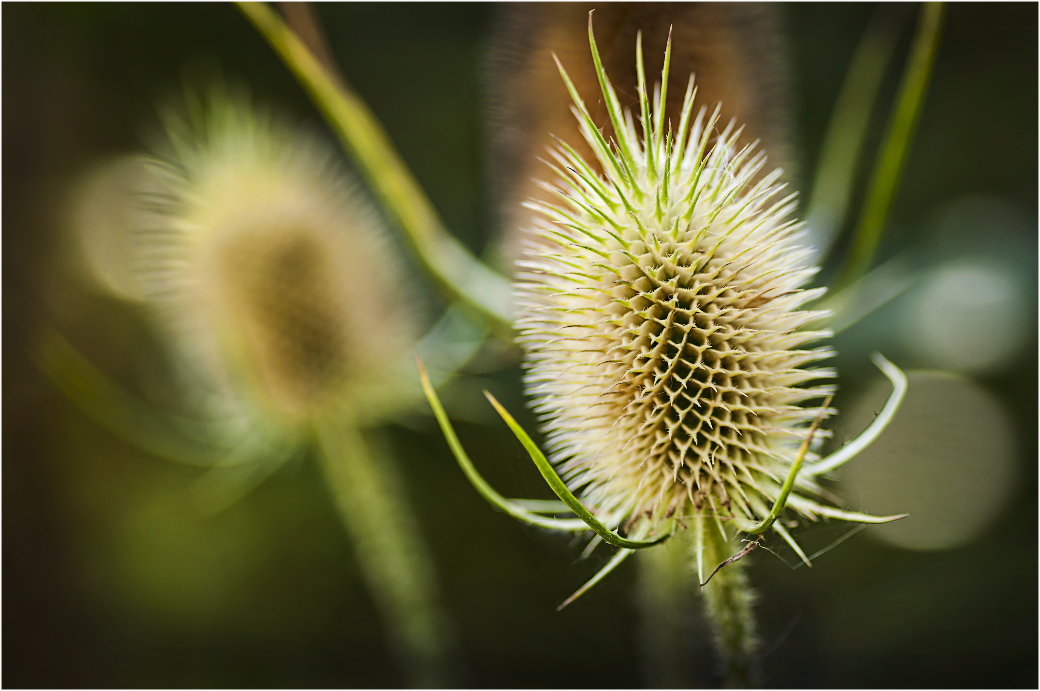 Photograph Thistle by Mark Shoesmith on 500px