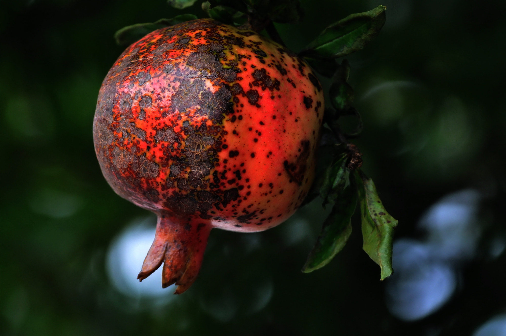 Photograph the Pomegranate of soon maturing by KEN OHSAWA on 500px