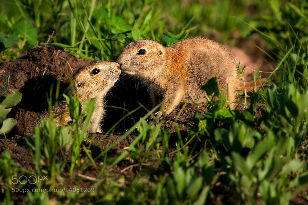 Photograph Prairie Dog Kiss by Steve Perry on 500px