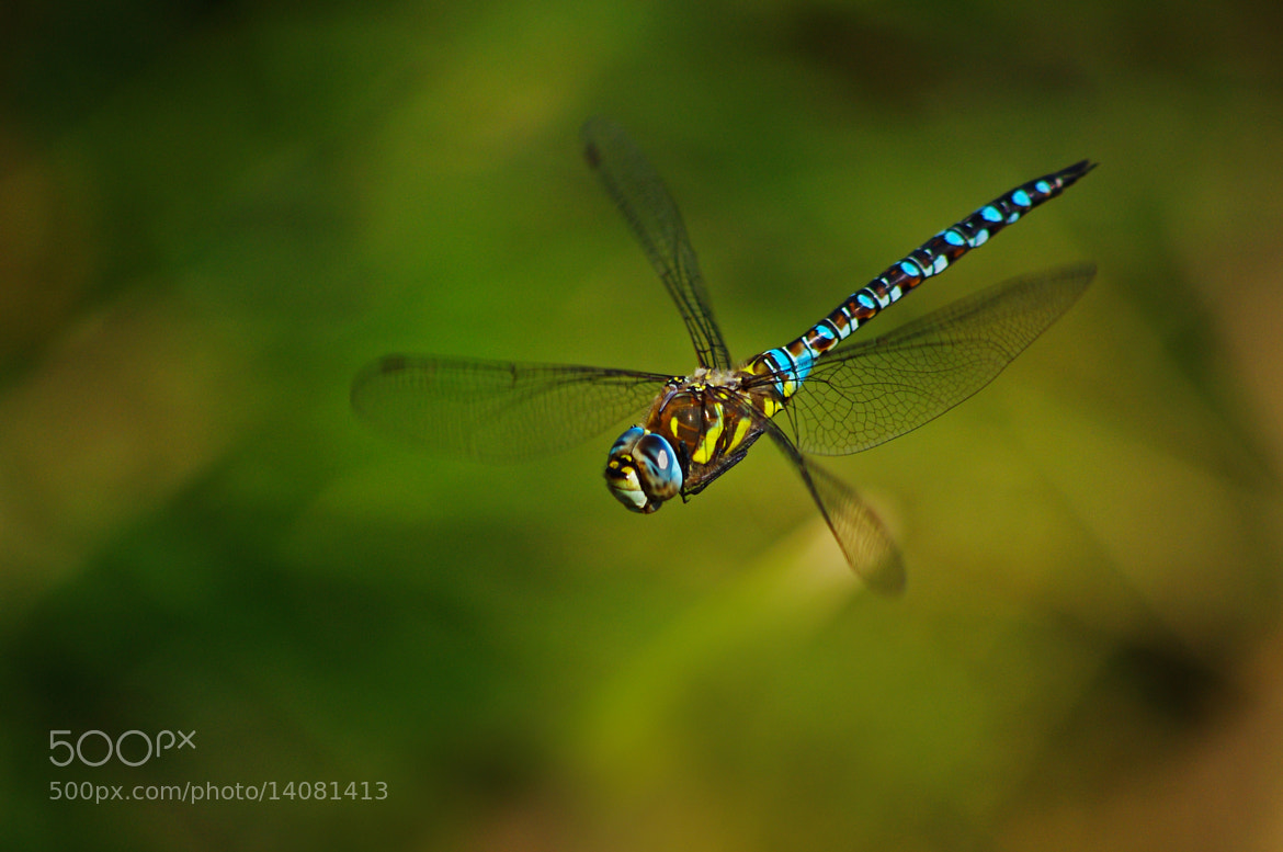 Photograph Migrant Hawker by Rachel Godden on 500px