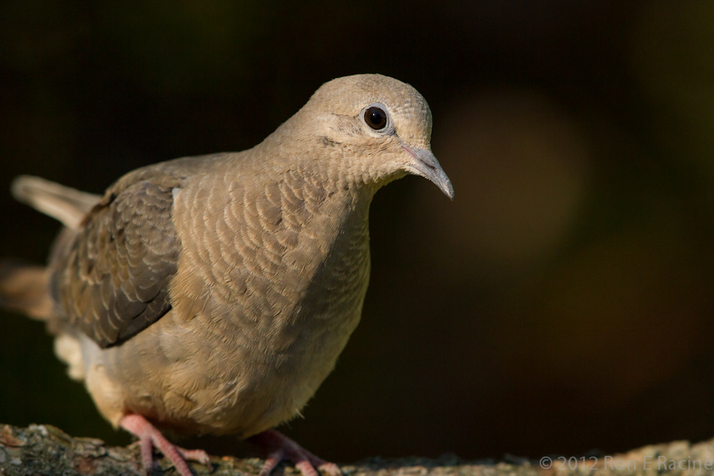 Photograph Mourning Dove by Ron E Racine on 500px