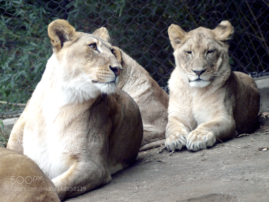 """Olympus E-30 sample photo. """"Mother and daughters. (lions)"""" photography"""