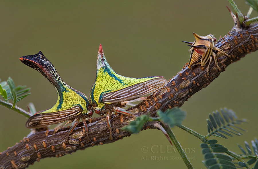 Photograph The Thornbugs by Christina Evans on 500px