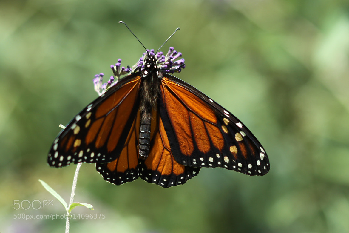 Photograph Monarch In The Morning by Kenneth  Maurer on 500px
