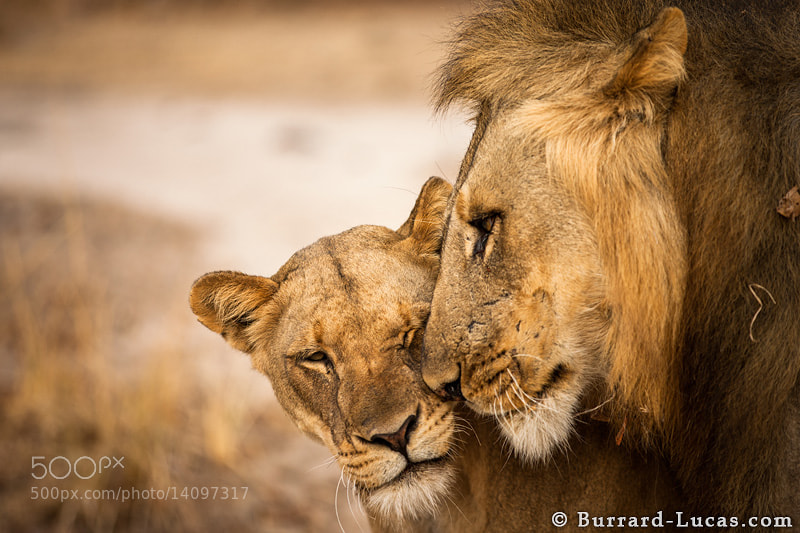 Photograph Lion Love by Will Burrard-Lucas on 500px
