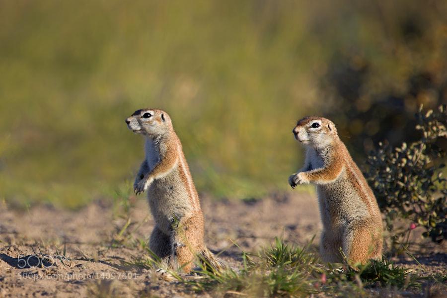 Photograph Kalahari Squirrels by Mario Moreno on 500px