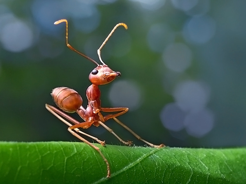 Photograph Ant brakes. by Anan Suphap on 500px