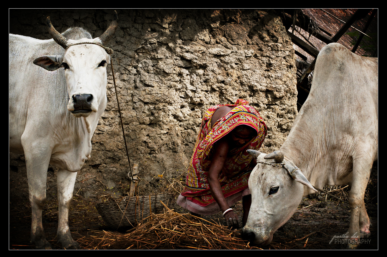 Photograph a village woman cares for her cows... by Partha Das on 500px