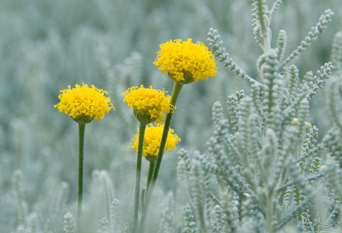 Photograph 3 Yellow Flowers by Min Ming Lo on 500px