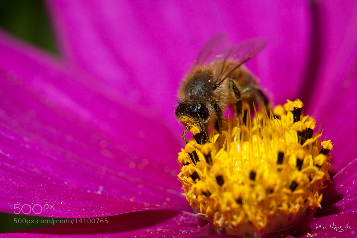 Photograph Bee 4 by Min Ming Lo on 500px