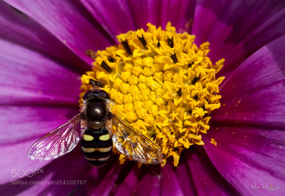 Photograph Bee 5 by Min Ming Lo on 500px