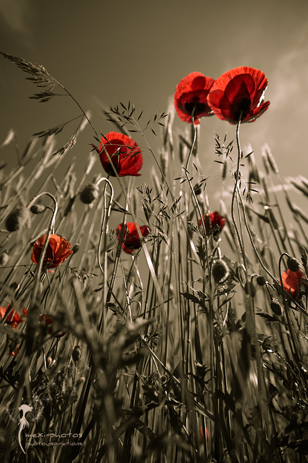 Photograph Poppy by Astrid Carnin on 500px
