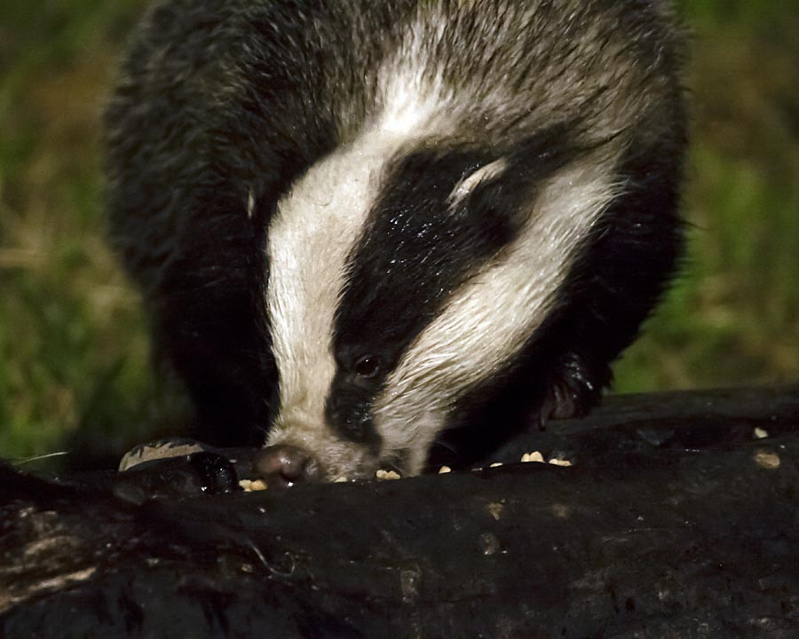Photograph Badger by David Barnes on 500px