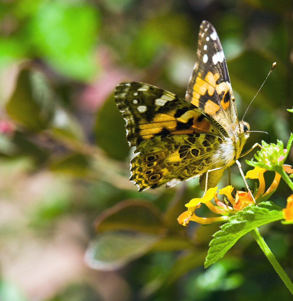 Photograph Painted Lady by Mark Luftig on 500px
