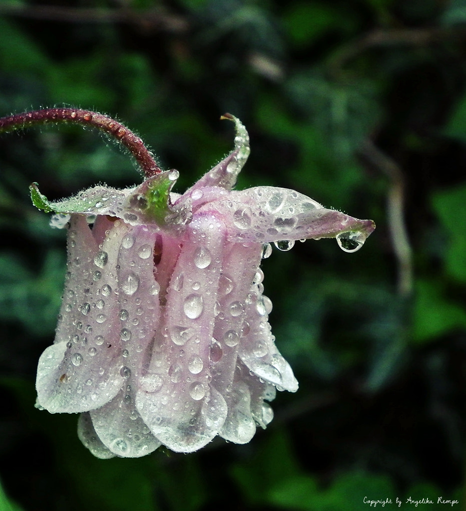 Photograph Dew-Drop by Angelika Rempe on 500px