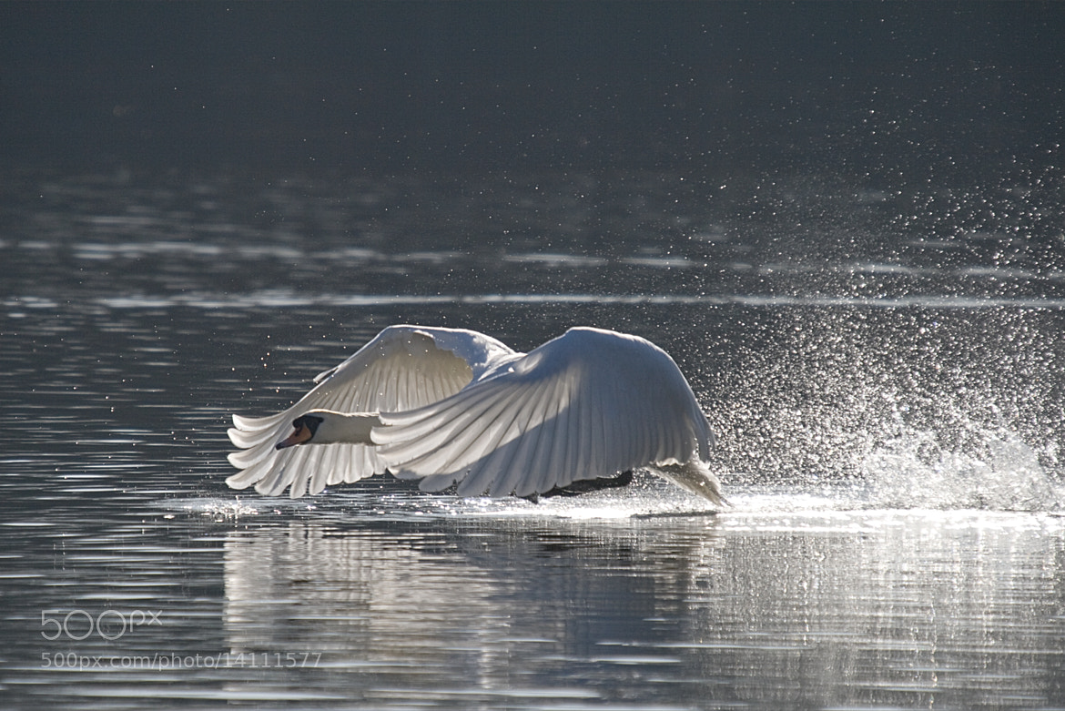 Photograph THE SWAN by Karl Batchelor on 500px