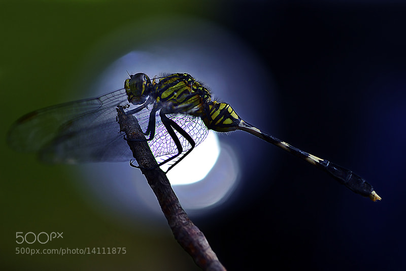 Photograph Dragonfly.III by Bu Balus on 500px