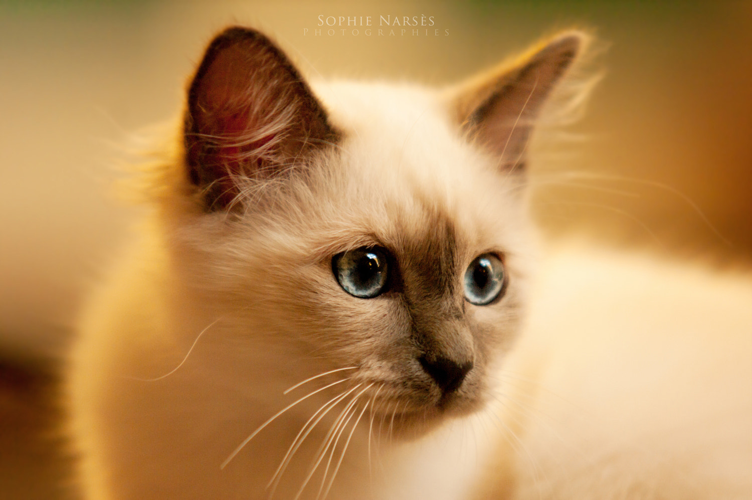 Photograph Little Kitten by Sophie Narses on 500px