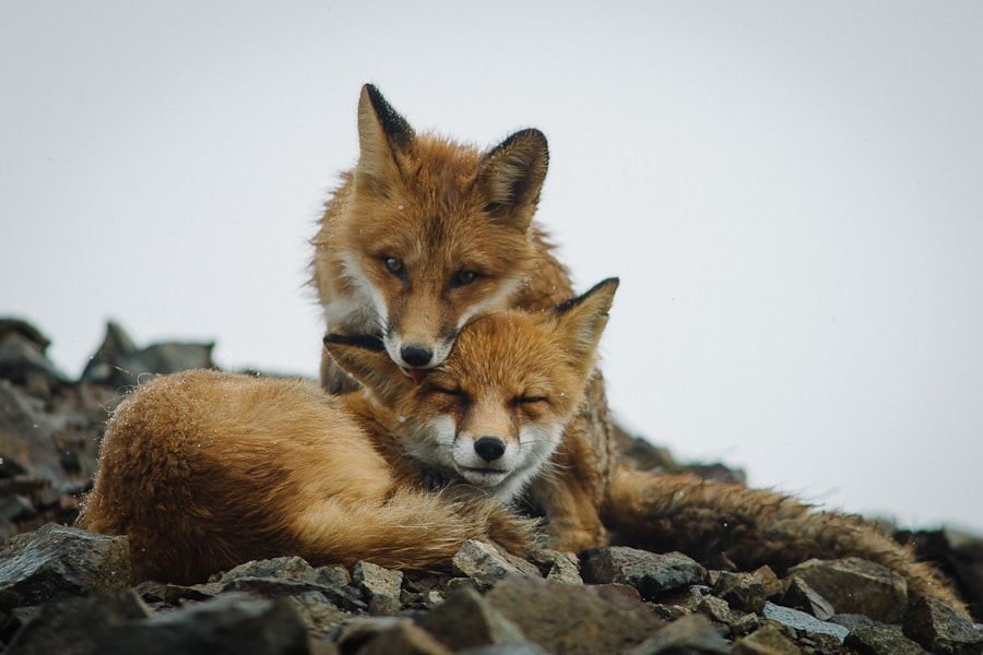 Photograph fox tenderness by Ivan Kislov on 500px