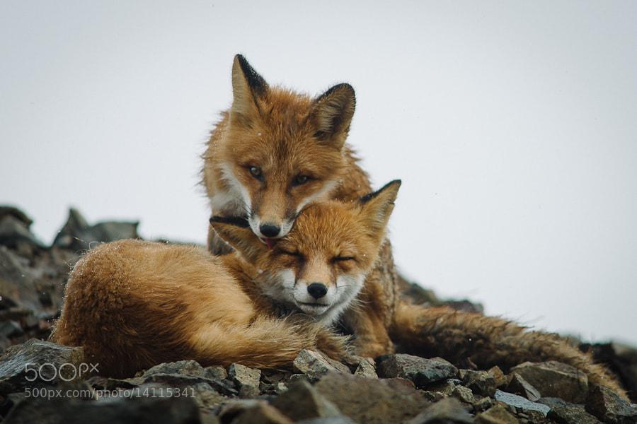 Photograph fox tenderness by Ivan Kislov on 500px
