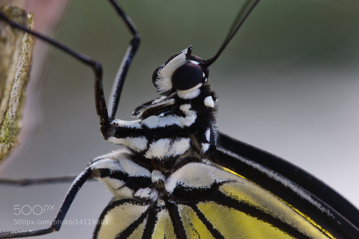 Photograph Tree Nymph Butterfly by Bob Decker on 500px